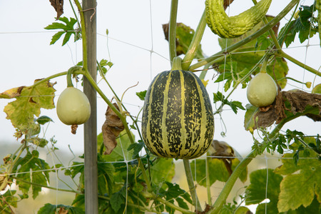 spoted: Hanging spoted striped pumpkins in a farm