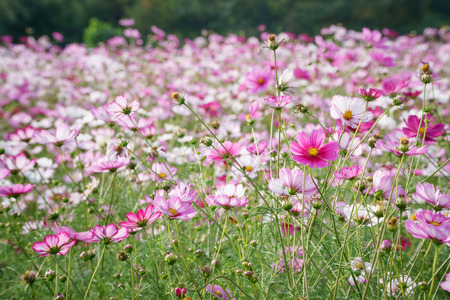 various color cosmos flowers in a field photo