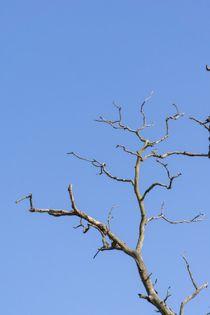 emaciated: branch of dead tree on a blue sky background