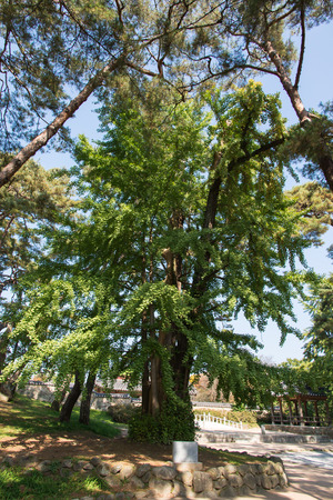 protected tree: 500 years old ginko tree, protected by government