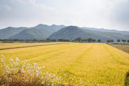 完全なビュー熟すゴールデン ライス安東市、韓国に位置して、秋の水田