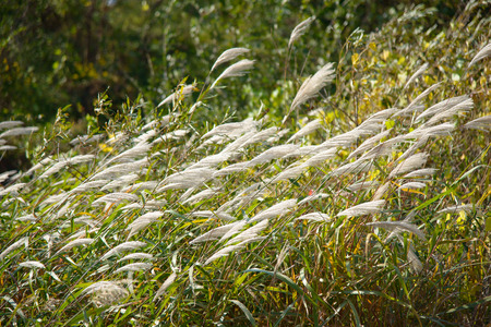 the pampas: shining silver grass with wind in a field Stock Photo