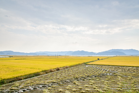 ripen: view of full ripen golden rice paddy in autumn, located in Andong-si, Korea