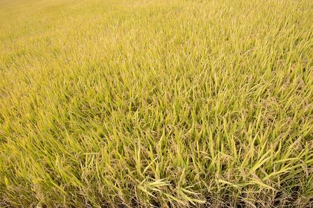 ripen: view of full ripen golden rice paddy in autumn