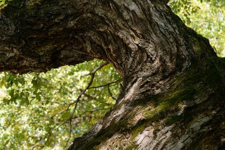 sauce: rama del viejo árbol de sauce en otoño Foto de archivo