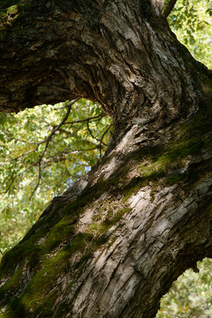 bough: bough of old willow tree in autumn