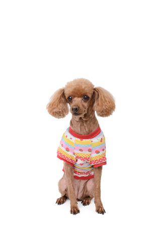dressed brown poodle, isolated on a white