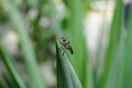 asilinae: robber fly, promachus yesonicus, on a end of plant