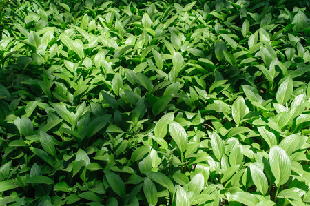 Hosta is a shade-tolerant plants. It is commonly known as hostas, plantain lilies, gobishi or funkia.