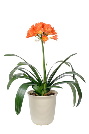 clivia miniata pot and flowers in full bloom, isolated on white. It sometimes called as Natal lily, Bush Iliy, Kaffir lily. Banque d'images