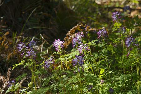corydalis: Closeup of Purple color Corydalis incisa flowers in a outdoor in spring