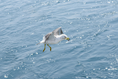 legs around: flying Seagull get tnagled by the fishing guts around its legs. Stock Photo