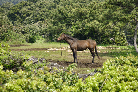 muscularity: healthy muscular horse standing alone in a grassland in Jeju island, Korea. Stock Photo