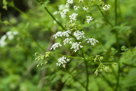 plantae: wild angelica acutiloba flowers in a outdoor in Jeju Island