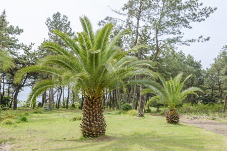 canariensis: Canary palm tree, scientific name is phoenix canariensis
