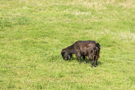 hircus: black goat (Capra hircus) eating plant in a green field in Jeju Island, Korea. Stock Photo