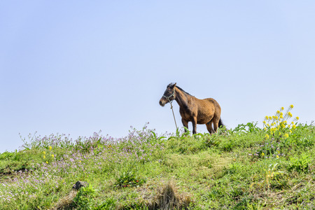 muscularity: healthy brown horse standing alone on a green hill in Jeju Island, korea.
