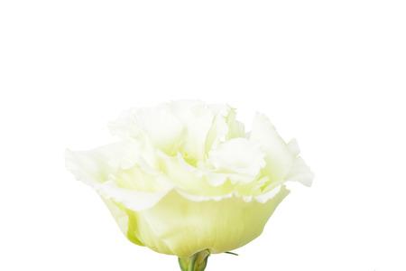 yellowish: macro image of yellowish green flower, isolated on white Stock Photo