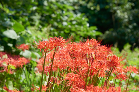 magic lily: Closeup of Lycoris radiata. It also known as red spider lily, red magic lily or cluster-amaryllis. The plant is originally from Korea, China and Nepal. It flowers in the late sumer or autumn.