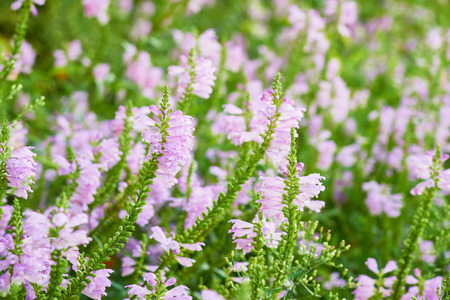 obedient: Closeup of Physostegia virginiana flowers. It is also called as obedient plant, obedience or false dragonhead. Stock Photo