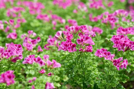 Pelargonium inquinans, allgemein bekannt als Geranie, ist eine Gattung von Blütenpflanzen in der Familie der Geraniaceae.