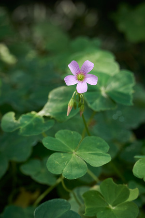 Flower of Oxalis corymbosa DC, which is also known as wood sorrels, false shamrocks or sourgrasses. Stock Photo