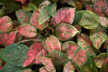 Aglaonema siam 오로라, 빨간색 Aglaonema 또는 중국 상록 나무, 아 룸속 식물에서 꽃 식물의 속. 스톡 콘텐츠