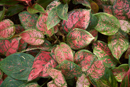Aglaonema siam aurora, also known as red Aglaonema or Chinese evergreen, a genus of flowering plants in the arum family. Imagens