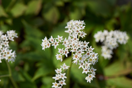 Aceriphyllum rossii, also known as Maple leaf or Mukdenia rossii, is a herbaceous plant with palmate leaves and the flowers are white, borne in spring.