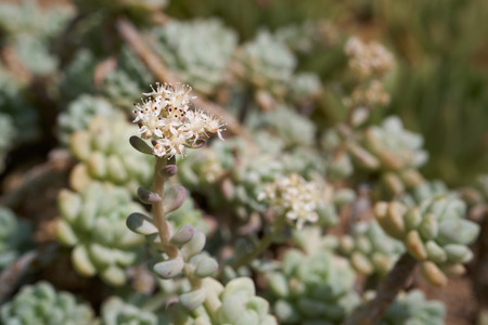 Sedum clavatum flower. S. clavatum is a succulent plant in the family Crassulaceae. It has white, star-shaped flowers in mid to late spring to early summer.