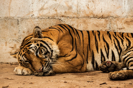 terrify: Tiger is sleeping Stock Photo