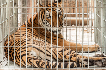 imprison: Tiger in the cage