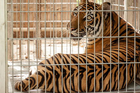 Tiger in the cage