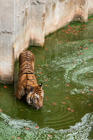 imprison: Tiger in the pool