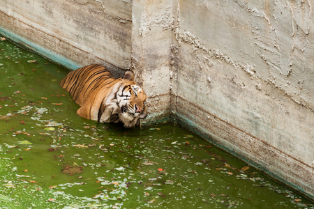 terrify: Tiger in the pool