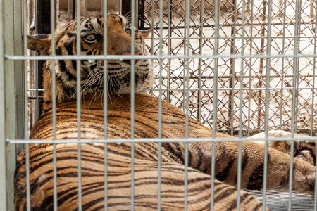 awful: Tiger in the cage