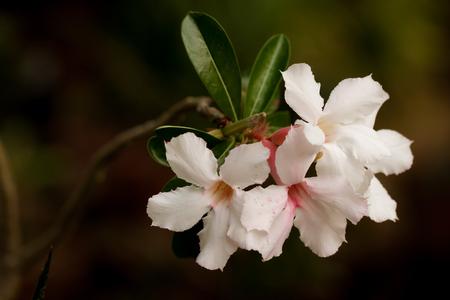 folwer: White desert rose flower Stock Photo