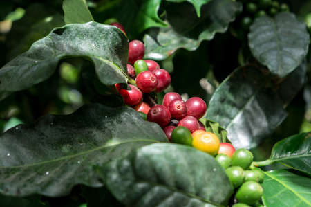 Colorful fresh coffee beans on a tree in the north of Thailand photo