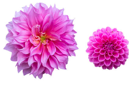 Two breeds of pink Dahlia on white background  photo