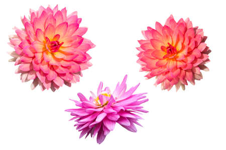 Two colors of Dahlia on white background  photo