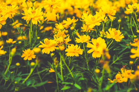 Yellow cosmos flower garden in vintage filter  photo