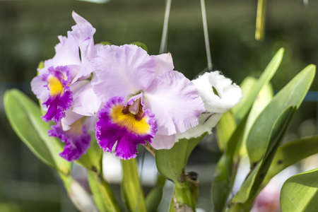 cattleya orchid: Cattleya orchid in margenta,yellow and light purple from a botanical garden in Thailand Stock Photo