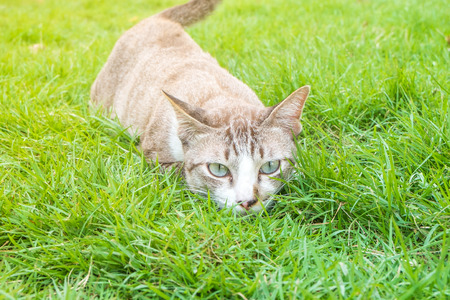 Young Cat staking for Pray in the grass - Animal with nature concept