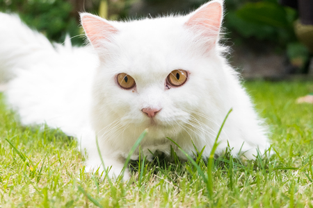 Portrait of white persian cat on green grass in the garden
