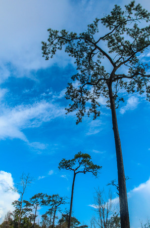 Pine tree and sky at Phu kradueng National Park, Loei, Thailand. Stock Photo