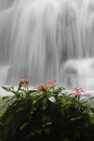 Habenaria rhodocheila orchid at Mundaeng Waterfall at Phu Hin Rong Kla, Phitsanulok, Thailand. Stock Photo