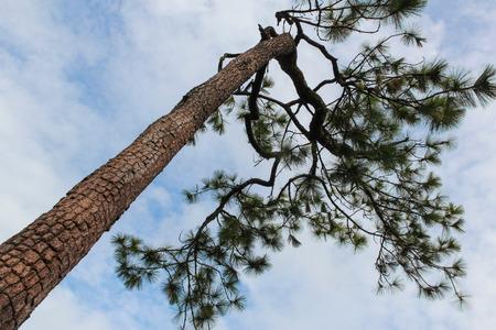 Merkus pine at Phu Kradueng National Park, Thailand. Stock Photo