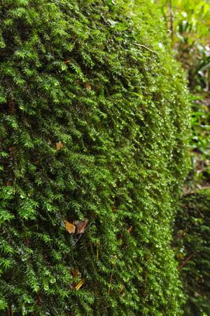 phukradueng: Moss on rock at Tum Yai Waterfall, Phu Kradueng National Park, Loei, Thailand