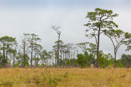 Field with Merkus pine at Phu Kradueng National Park, Thailand. Stock Photo