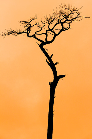 Sihouette of pine treee in orange clear sky background Stock Photo - 68726631